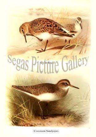 Sanderling & Common Sandpiper